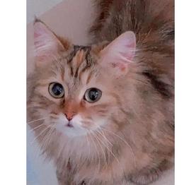 للبيع قطه انثي شيرازي