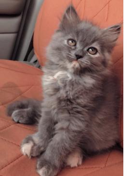 For sale a beautiful Himalayan cat