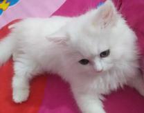 للبيع قطه شيرازى