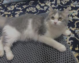 For Sale Shirazi cat for the fastest connected