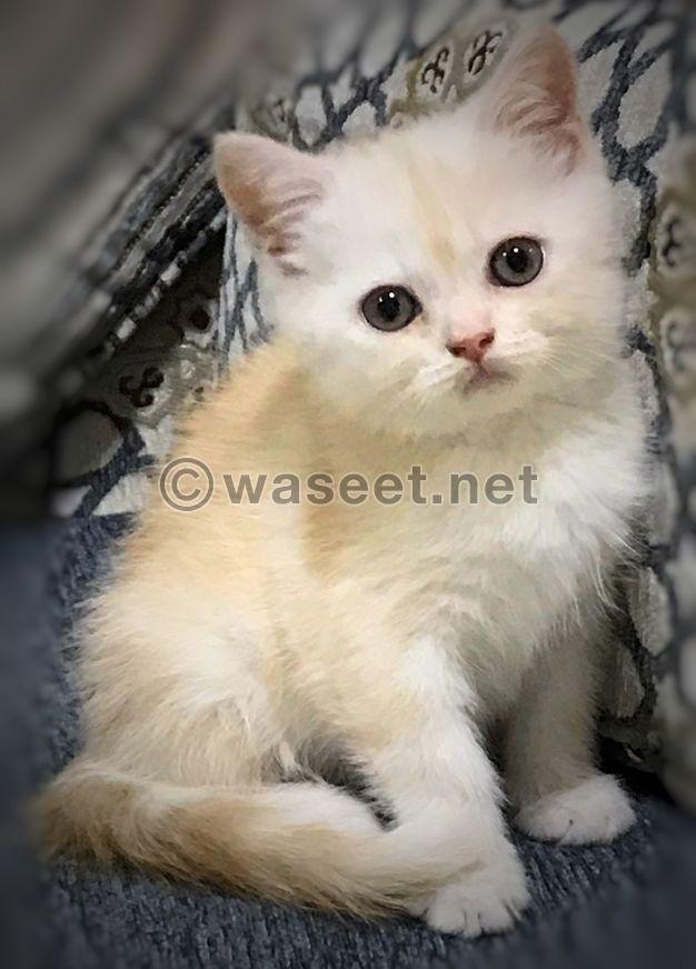 For Sale British pure cat