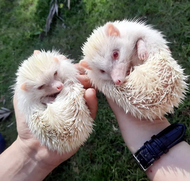 For sale albino hedgehogs