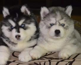 للبيع كلاب الهاسكي
