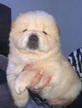 للبيع كلاب تشاو