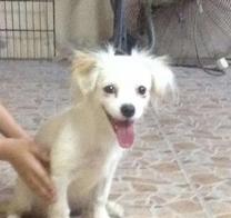 للبيع كلبه لولو فوكس
