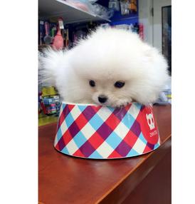 Pomeranian dog for sale 15