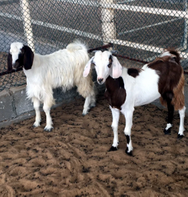 Male goats sacrifices 12