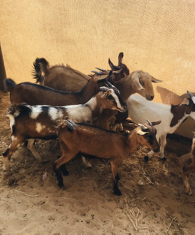 baby goats 15