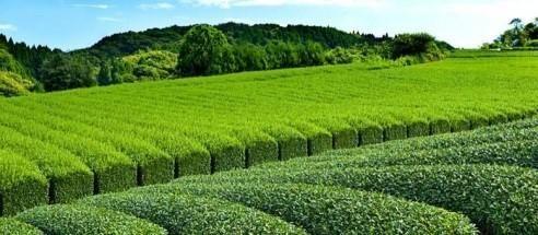 مطلوب عمالة للعمل في مزارع شاي