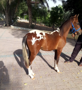 Pinto pony for sale one year old