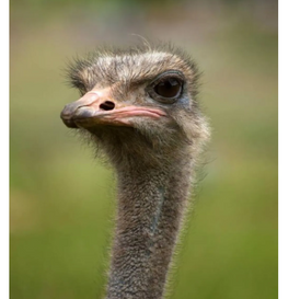 African ostrich for sale 2