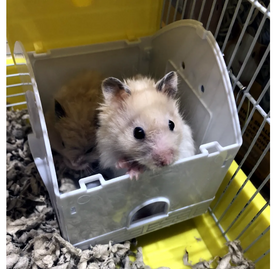 Syrian hamster for sale 3