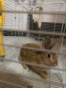للبيع ارنب انثى