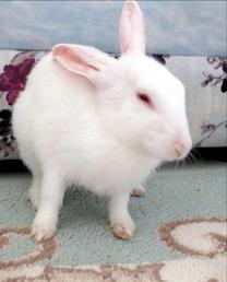 أرنب انثي شعر ناعم