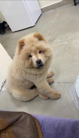 كلب جاوتچاو