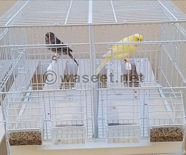 For Sale Canary pair