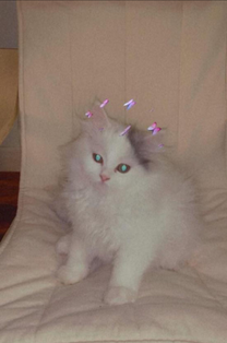 قطة شيرازي امريكي نادرة