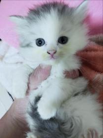 قطة شيرازي شانشيلا بيور العمر شهر