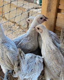 دجاج فيومي الامنيوم