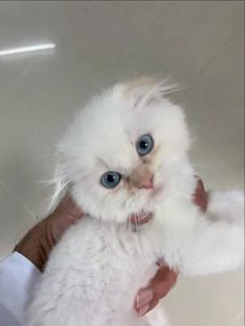 قطط للبيع سكواش