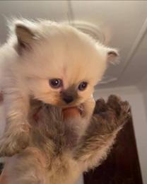 قطه هملايا شوكليت
