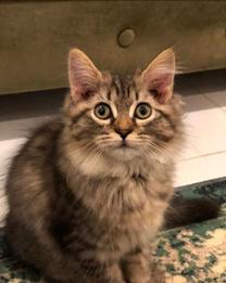 قطط 4 شهور مهجن شيرازي وهملايا