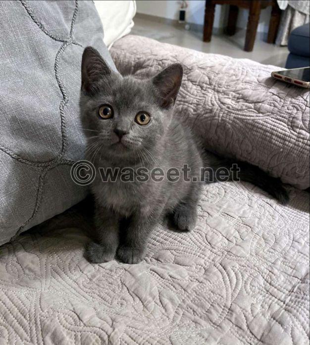 For Sale British Shorthair kitten