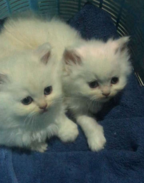 2 months old kitten for sale