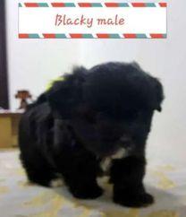 2 months old shitzu puppy for sale