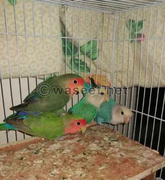 2 pairs of love birds with cage