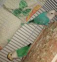 2 pairs of love birds with cage 1