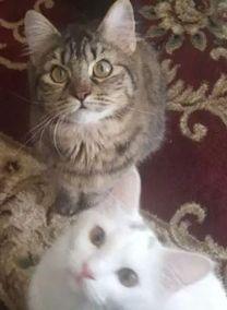 3 male Persian cat moonface