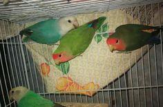4 Love birds
