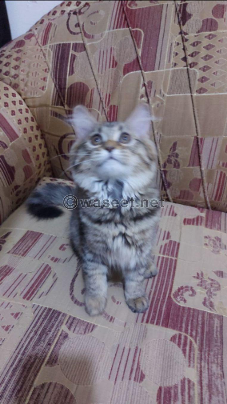 قطه شيرازي لعمر ٧٥ يوم 2