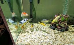 7 koi fish