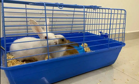 A couple Norway Rabbit for sale