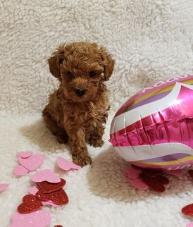 Adorable Mini Poodle Puppies for sale