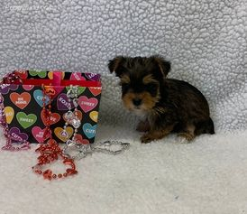 Adorable Yorkshire Puppies for sale