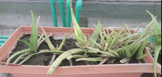 Aloe vera plant with pot