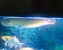Arowan Fish for sale