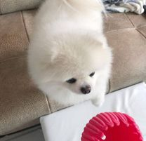 Available Male and Female Pomeranian Puppies for free Adoption