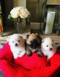 Beautiful Pomerania Puppies' for Adoption