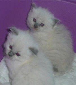 3 قطط بعمر 9 أسابيع صبيان وفتاة