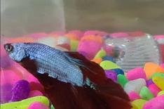 Betta Fish with Food