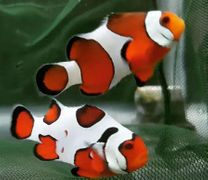 Bonded Pair Designer Clownfish