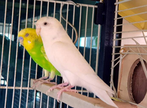 Breeding Budgie Pair Looking for New Home