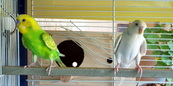 Breeding Budgie Pair Looking for New Home 1