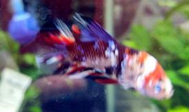 CANDY PLAKAT KOI BETTA FISH (male)
