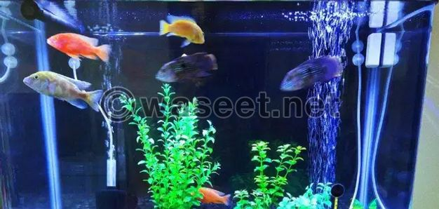 CICHLIDS Fishes for Sale