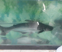 Catfish very big 2 for sale